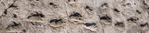 The Laetoli Footprints, discovered in Tanzania in 1976, date to 3.7 million years ago. It is often suggested that they are the footprints of an adult and child, walking hand in hand. Source: http://www.uchicago.edu/features/anthropologist_explores_humanitys_first_steps/
